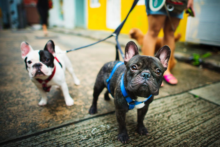 french-bulldogs-leash